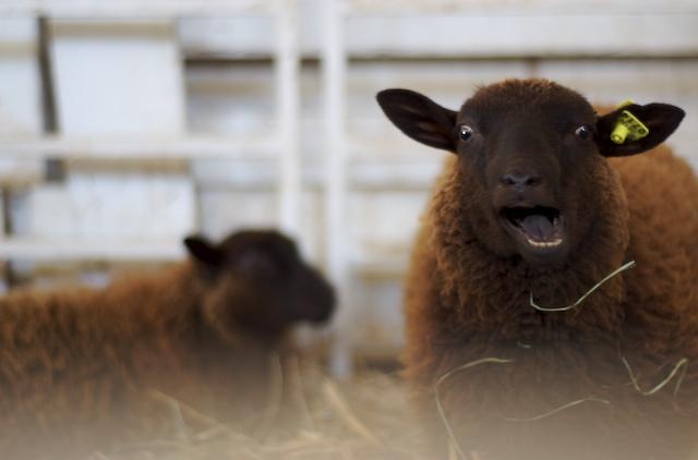 Crazy_sheep