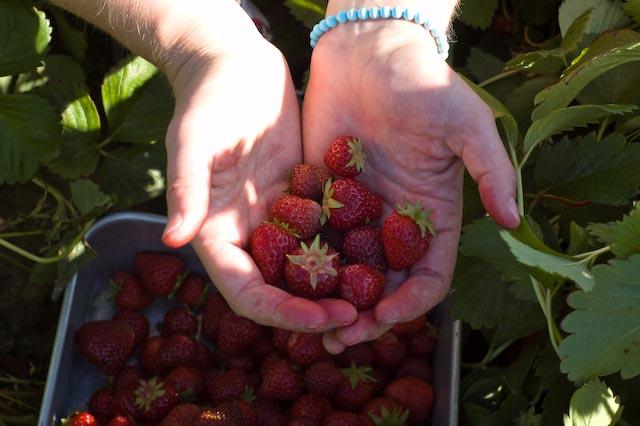 Strawberries11