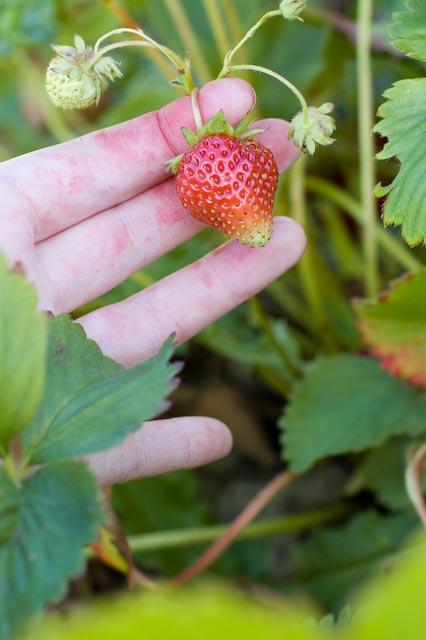 Strawberries17