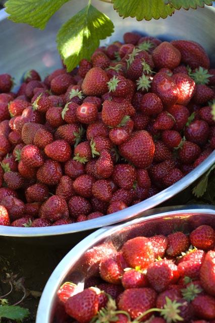 Strawberries8