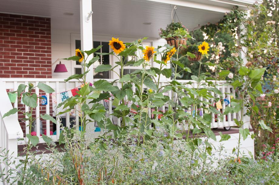 garden sunflowers-1