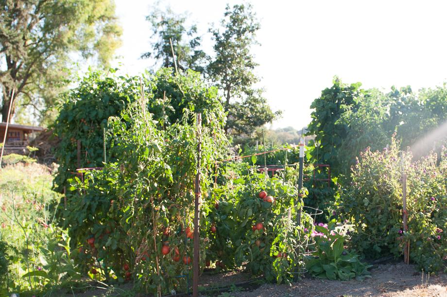 master gardener tomatoes-13